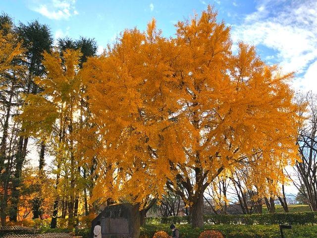 霞城公園内のイチョウの木