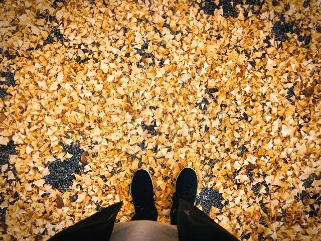 霞城公園内のイチョウの落ち葉